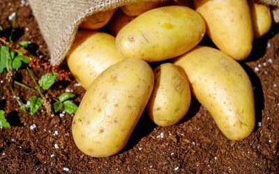Potato quality – Calcium and how to use it better