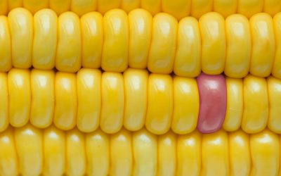 Nitrogen Use Efficiency in Maize – timing and form for better yield