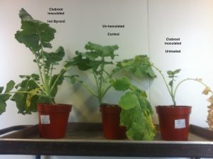 Clubroot-research