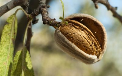 Back to the future – best timing for increased almonds is pre season