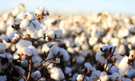 Cotton – How to get more from Nitrogen inputs