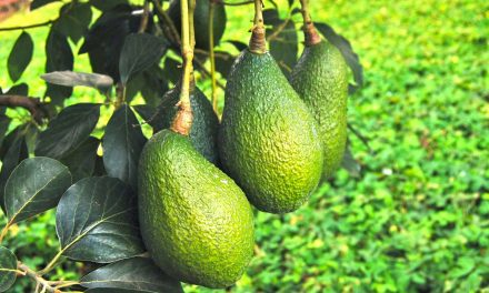 Getting Boron right in Avocado – more about physiology than deficiency