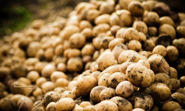 B is for bulking – Using Boron to increase potato yield
