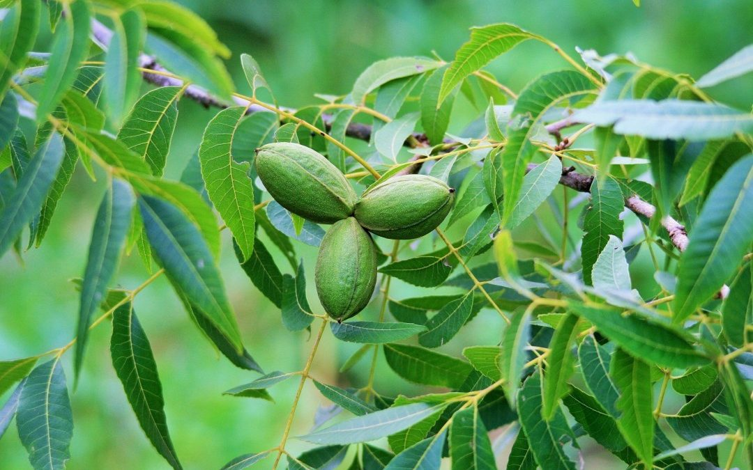 Increase Pecan Yield and Quality – Nitrogen