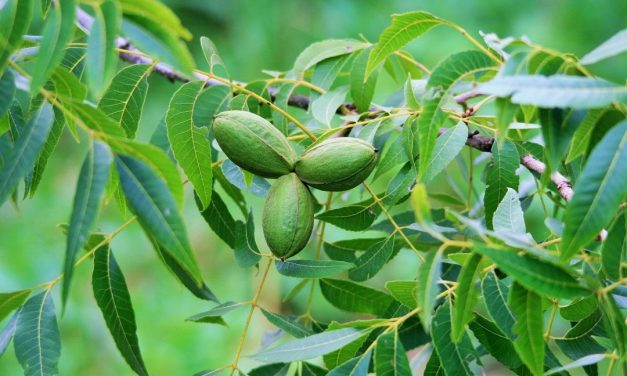 Increase Pecan Yield and Quality – Nitrogen is Key