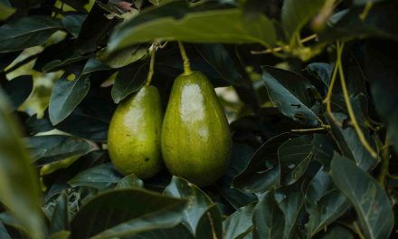 Avocado alternate year yield bearing – the solution is in not feeding the wrong parts of the crop.