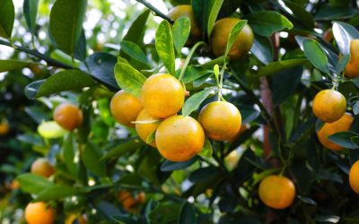 Why leaf flush affects citrus quality and yield, and how to manage it better.