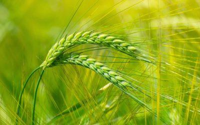 Elona and Spring Barley Crops 2021